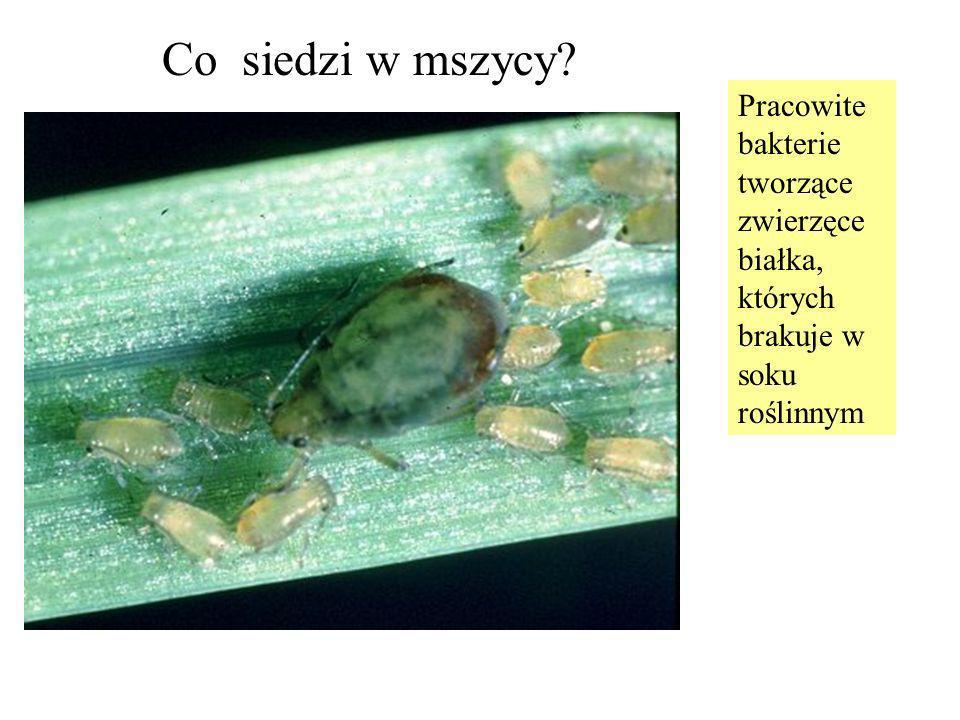 Co siedzi w mszycy? Pracowite bakterie tworzące zwierzęce białka, których brakuje w soku roślinnym