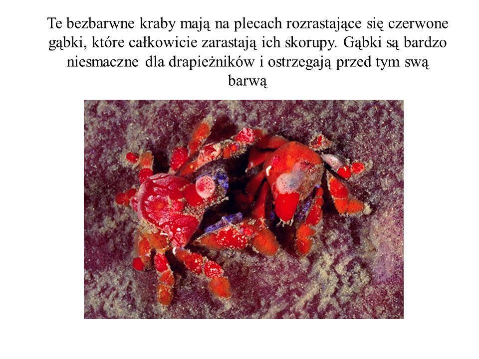 Te bezbarwne kraby mają na plecach rozrastające się czerwone gąbki, które całkowicie zarastają ich skorupy. Gąbki są bardzo niesmaczne dla drapieżnikó