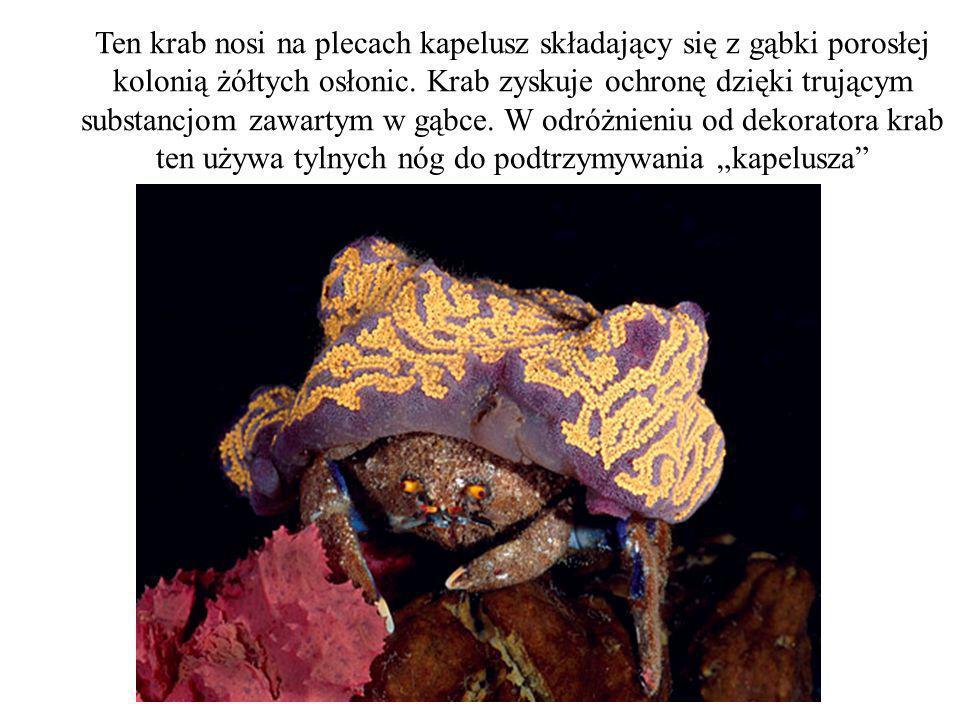 Ten krab nosi na plecach kapelusz składający się z gąbki porosłej kolonią żółtych osłonic. Krab zyskuje ochronę dzięki trującym substancjom zawartym w