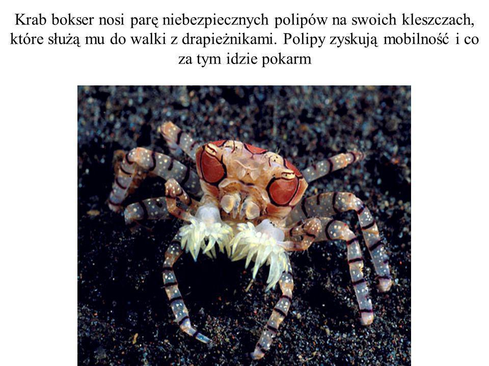 Krab bokser nosi parę niebezpiecznych polipów na swoich kleszczach, które służą mu do walki z drapieżnikami. Polipy zyskują mobilność i co za tym idzi