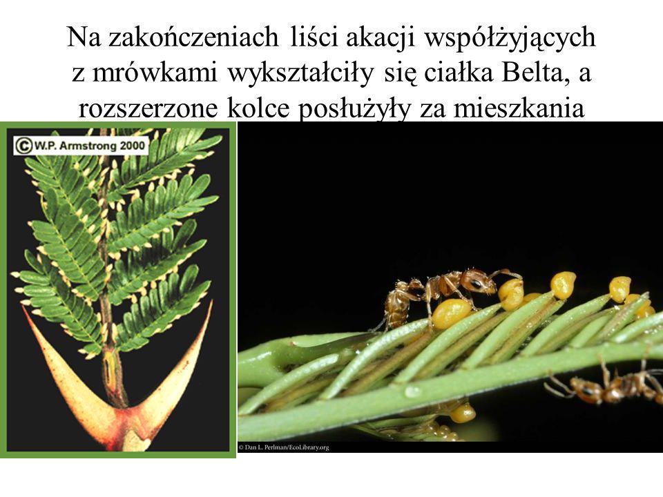 Na zakończeniach liści akacji współżyjących z mrówkami wykształciły się ciałka Belta, a rozszerzone kolce posłużyły za mieszkania