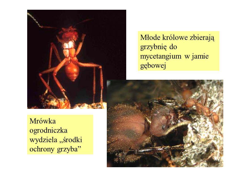 Mrówka ogrodniczka wydziela środki ochrony grzyba Młode królowe zbierają grzybnię do mycetangium w jamie gębowej