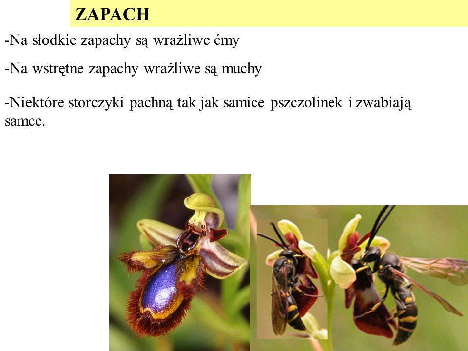 ZAPACH -Niektóre storczyki pachną tak jak samice pszczolinek i zwabiają samce. -Na słodkie zapachy są wrażliwe ćmy -Na wstrętne zapachy wrażliwe są mu