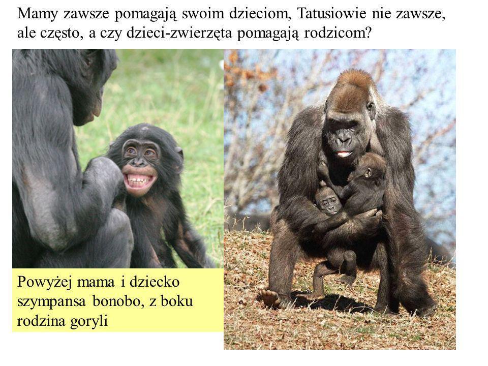 Mamy zawsze pomagają swoim dzieciom, Tatusiowie nie zawsze, ale często, a czy dzieci-zwierzęta pomagają rodzicom? Powyżej mama i dziecko szympansa bon