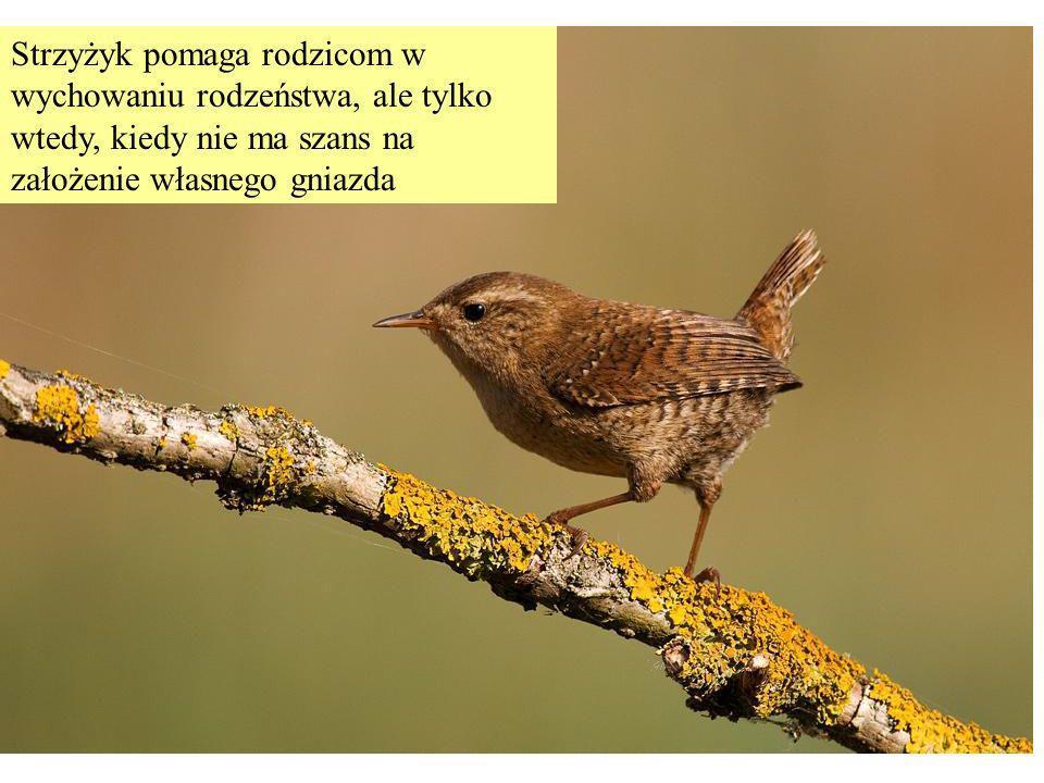 Strzyżyk pomaga rodzicom w wychowaniu rodzeństwa, ale tylko wtedy, kiedy nie ma szans na założenie własnego gniazda