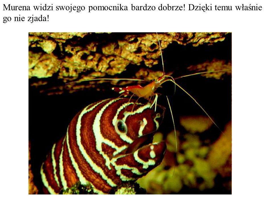 Do skorupy kraba dekoratora przyczepiają się glony, gąbki i koralowce, które zyskują mobilność, podczas gdy krab – czapkę niewidkę