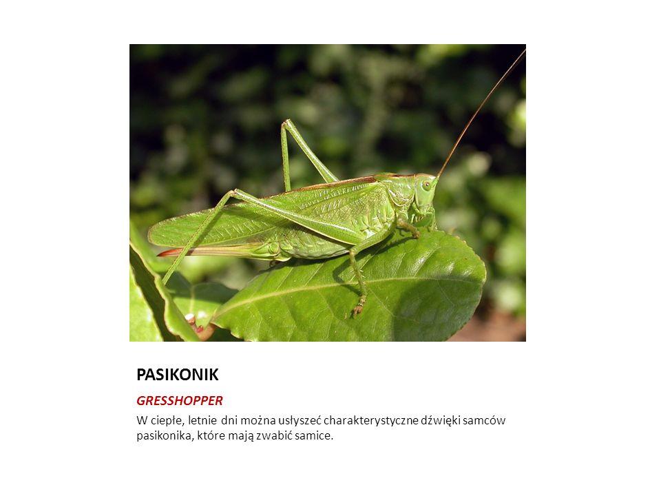 PASIKONIK GRESSHOPPER W ciepłe, letnie dni można usłyszeć charakterystyczne dźwięki samców pasikonika, które mają zwabić samice.