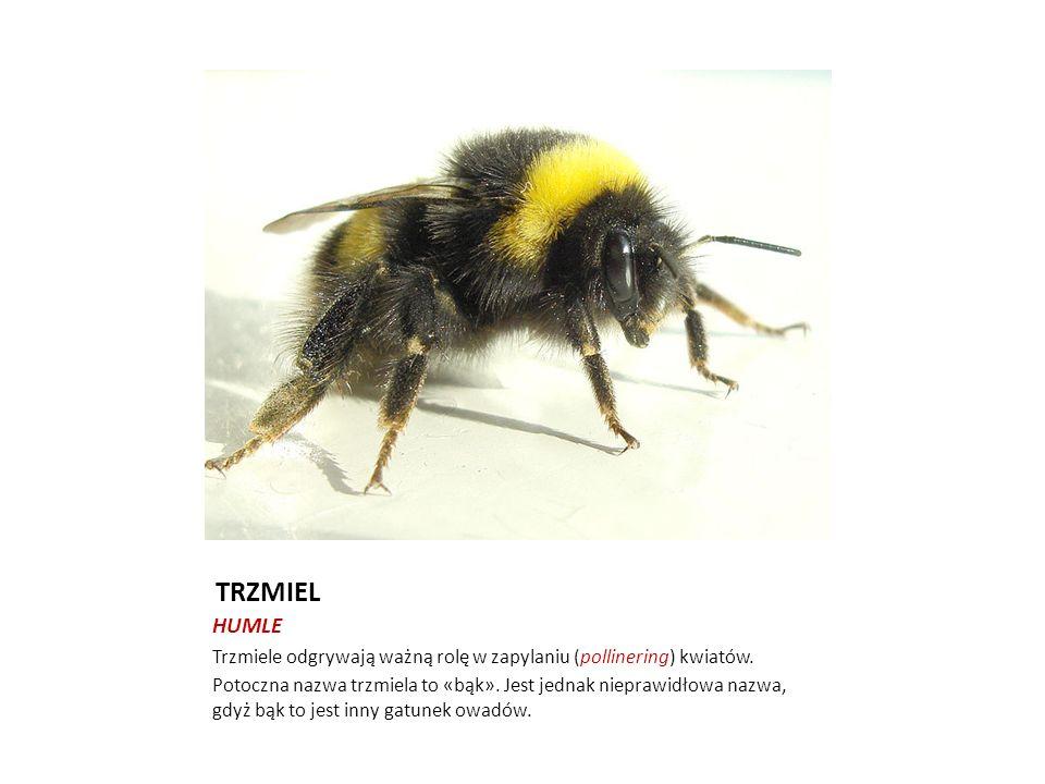 TRZMIEL HUMLE Trzmiele odgrywają ważną rolę w zapylaniu (pollinering) kwiatów. Potoczna nazwa trzmiela to «bąk». Jest jednak nieprawidłowa nazwa, gdyż