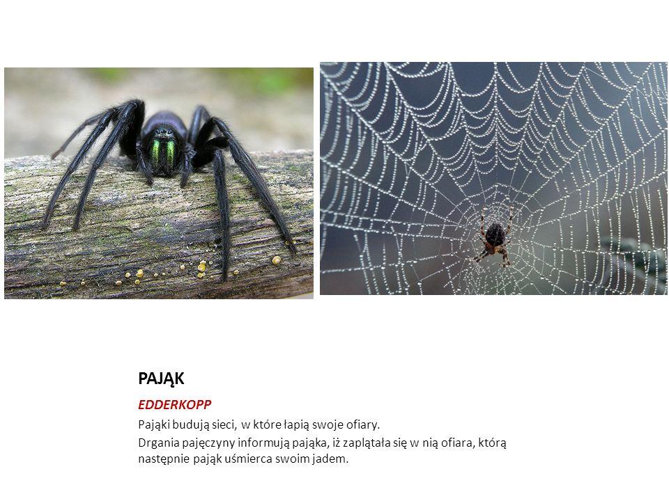 PAJĄK EDDERKOPP Pająki budują sieci, w które łapią swoje ofiary. Drgania pajęczyny informują pająka, iż zaplątała się w nią ofiara, którą następnie pa