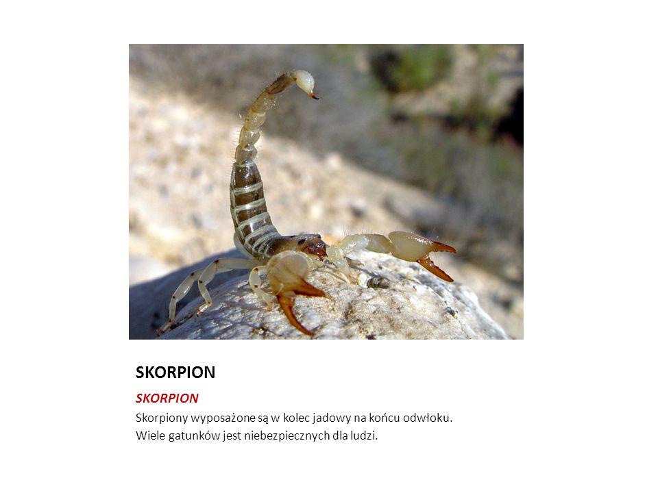 SKORPION Skorpiony wyposażone są w kolec jadowy na końcu odwłoku. Wiele gatunków jest niebezpiecznych dla ludzi.