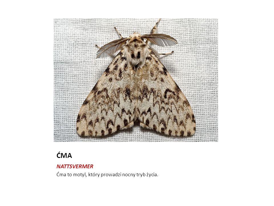 ĆMA NATTSVERMER Ćma to motyl, który prowadzi nocny tryb życia.