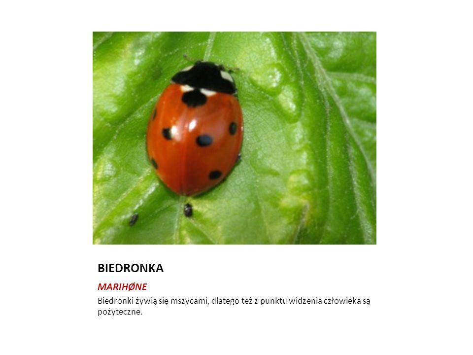 PAJĘCZAKI-EDDERKOPPDYR Pajęczaki różnią się od owadów budową ciała.