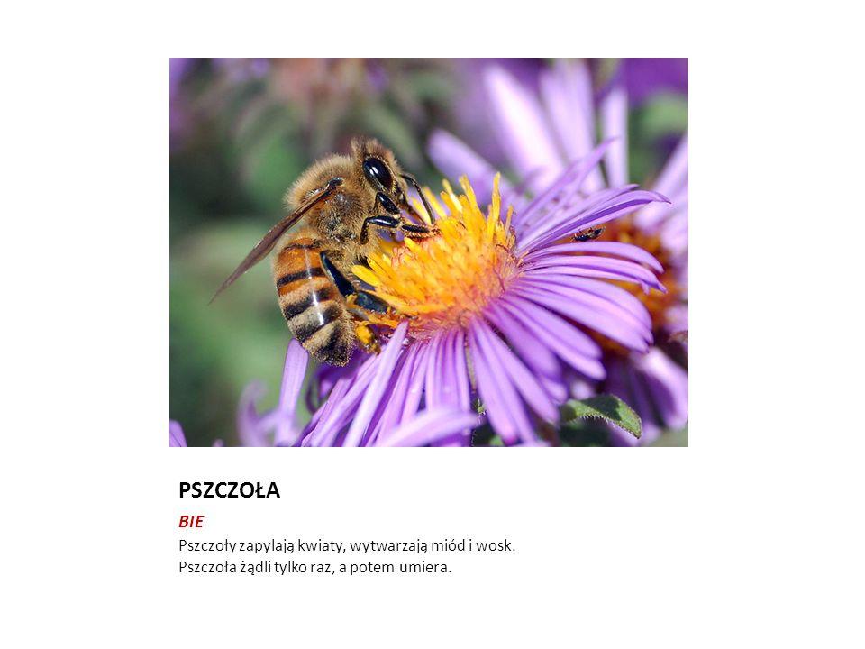 PSZCZOŁA BIE Pszczoły zapylają kwiaty, wytwarzają miód i wosk. Pszczoła żądli tylko raz, a potem umiera.