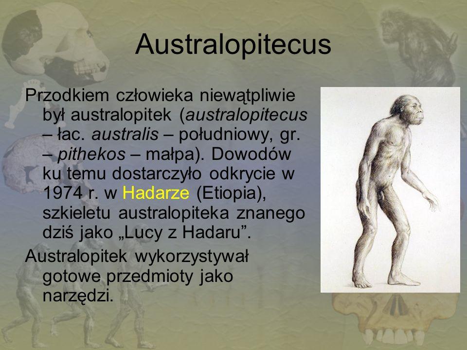 Australopitecus Przodkiem człowieka niewątpliwie był australopitek (australopitecus – łac. australis – południowy, gr. – pithekos – małpa). Dowodów ku