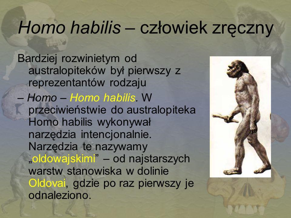 Homo habilis – człowiek zręczny Bardziej rozwinietym od australopiteków był pierwszy z reprezentantów rodzaju – Homo – Homo habilis. W przeciwieństwie
