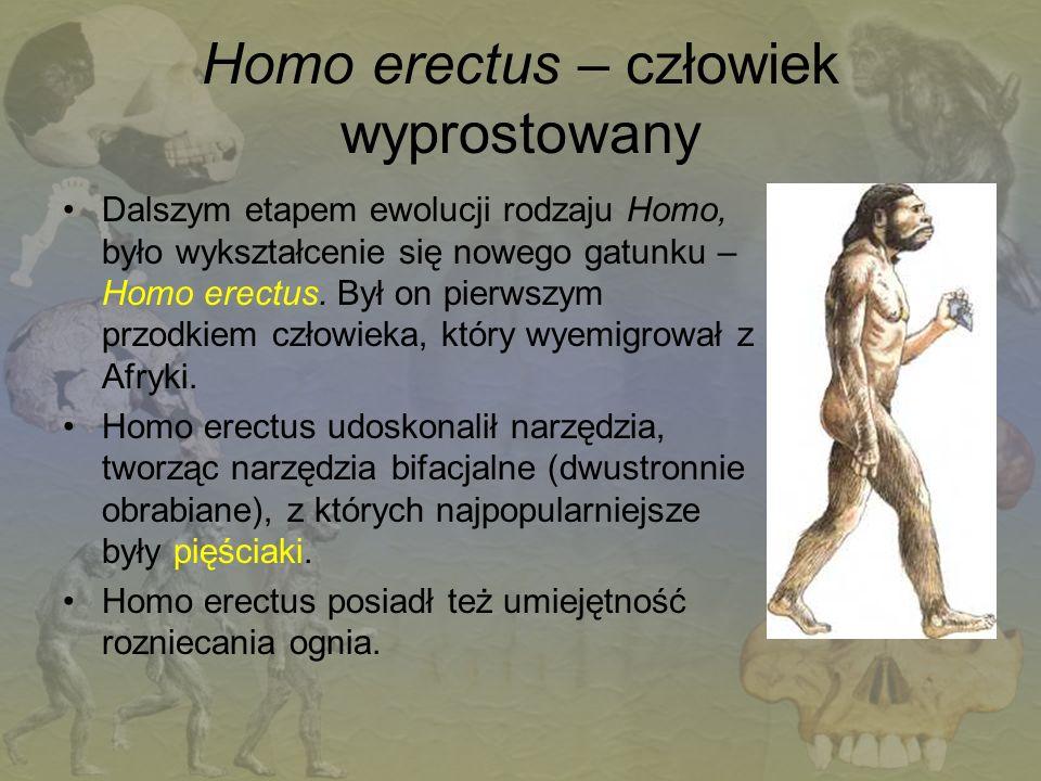 Homo erectus – człowiek wyprostowany Dalszym etapem ewolucji rodzaju Homo, było wykształcenie się nowego gatunku – Homo erectus. Był on pierwszym przo