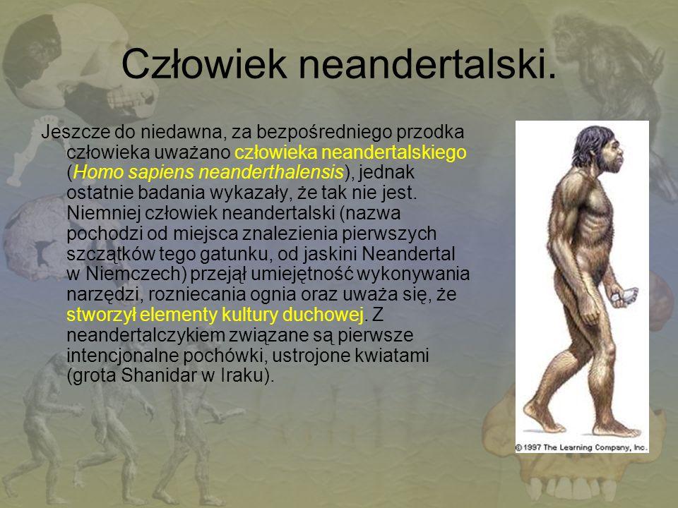 Człowiek neandertalski. Jeszcze do niedawna, za bezpośredniego przodka człowieka uważano człowieka neandertalskiego (Homo sapiens neanderthalensis), j