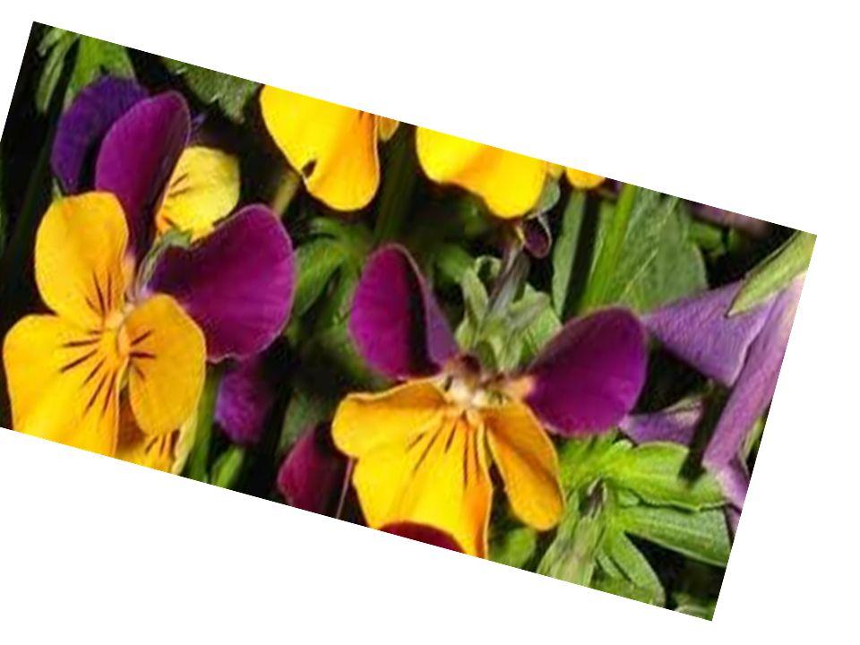 WIOSNA Pierwszy dzień wiosny, obchodzony jest w dniu równonocy wiosennej, który najczęściej przypada w dniu 21 marca lub dnia poprzedniego lub następnego, w zależności gdzie jest obserwowana.