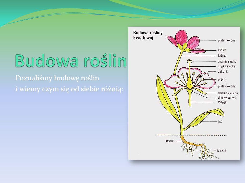 Korzeń System korzeniowy Modyfikacje korzeni