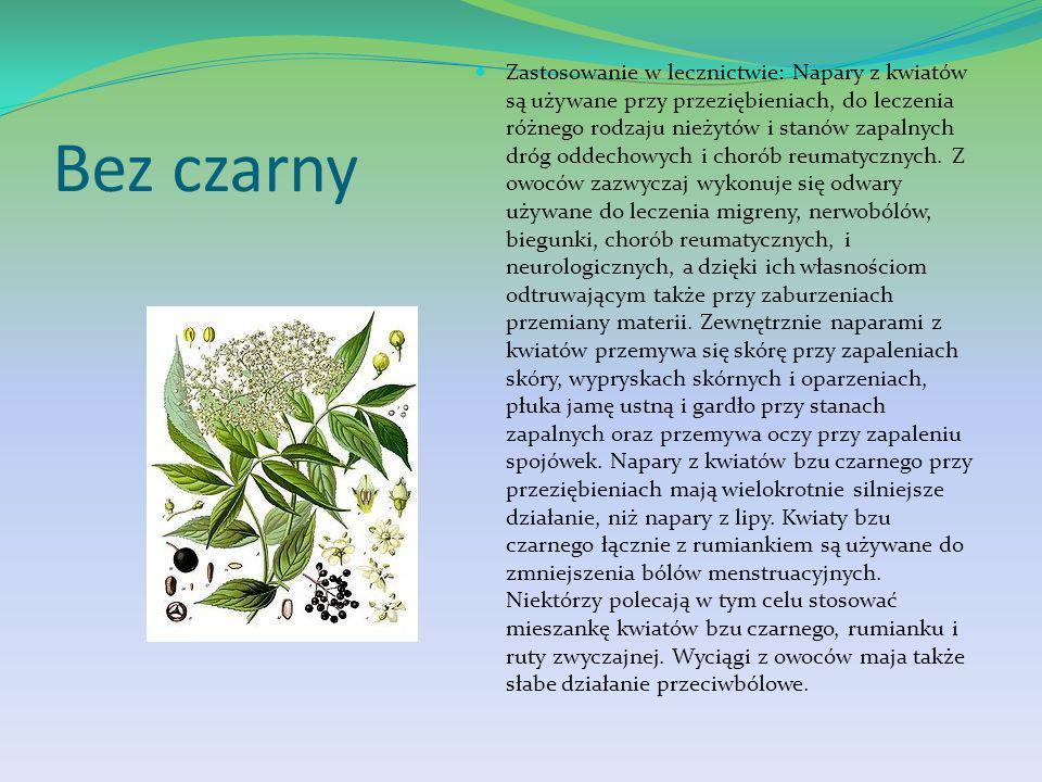 Zastosowanie w lecznictwie: Napary z kwiatów są używane przy przeziębieniach, do leczenia różnego rodzaju nieżytów i stanów zapalnych dróg oddechowych i chorób reumatycznych.