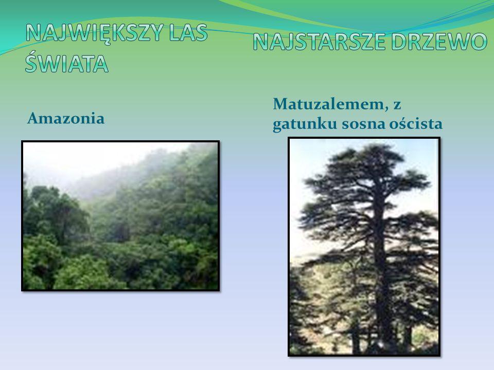 Amazonia Matuzalemem, z gatunku sosna oścista