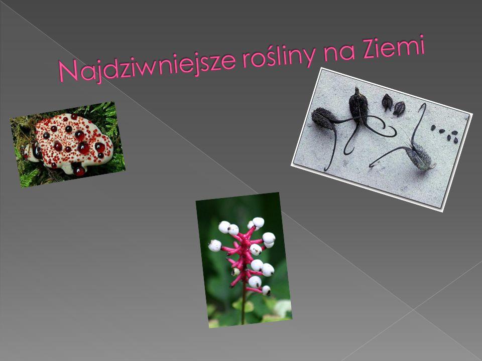 Kolczakówka kroplista (Hydnellum peckii) Rzadki grzyb chroniony.