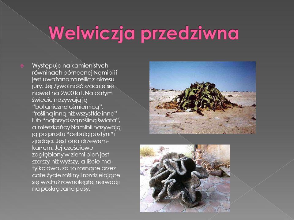Występuje na kamienistych równinach północnej Namibii i jest uważana za relikt z okresu jury. Jej żywotność szacuje się nawet na 2500 lat. Na całym św