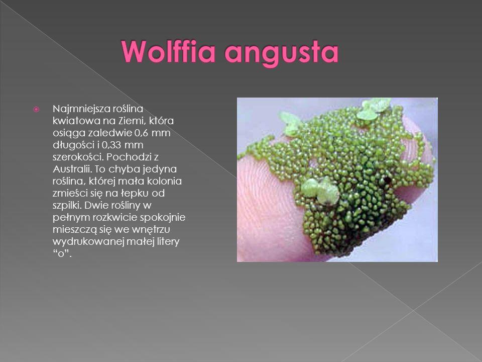 Najmniejsza roślina kwiatowa na Ziemi, która osiąga zaledwie 0,6 mm długości i 0,33 mm szerokości. Pochodzi z Australii. To chyba jedyna roślina, któr