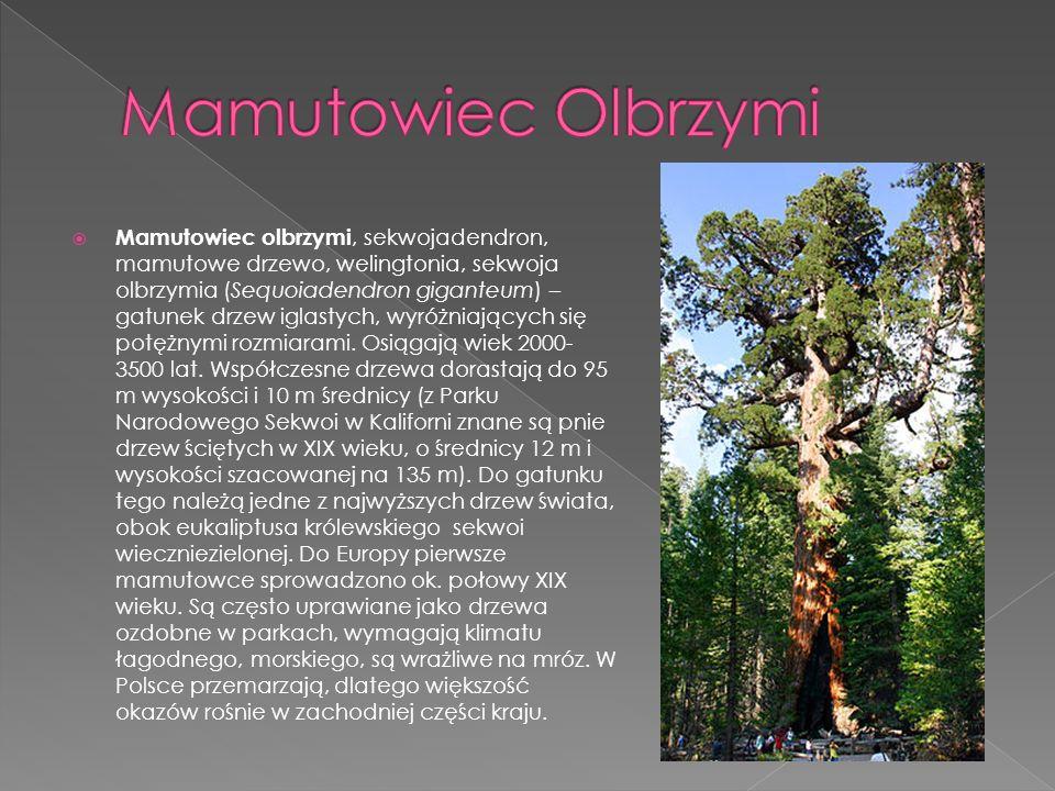 Mamutowiec olbrzymi, sekwojadendron, mamutowe drzewo, welingtonia, sekwoja olbrzymia (Sequoiadendron giganteum) – gatunek drzew iglastych, wyróżniając