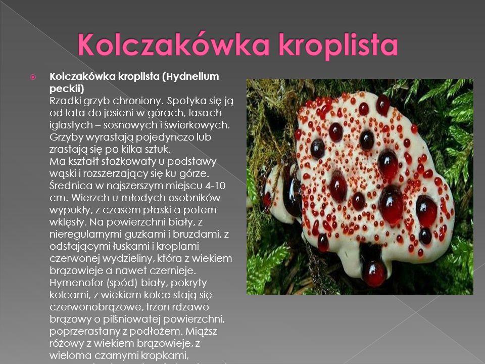 Kolczakówka kroplista (Hydnellum peckii) Rzadki grzyb chroniony. Spotyka się ją od lata do jesieni w górach, lasach iglastych – sosnowych i świerkowyc