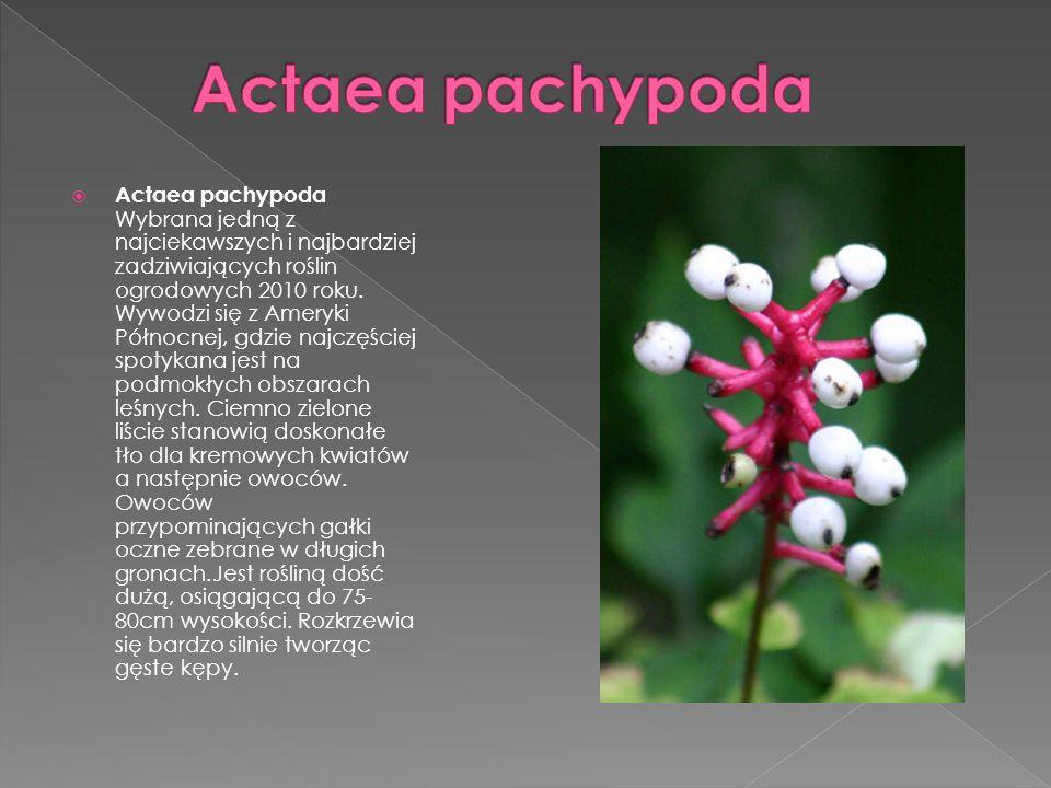 Actaea pachypoda Wybrana jedną z najciekawszych i najbardziej zadziwiających roślin ogrodowych 2010 roku. Wywodzi się z Ameryki Północnej, gdzie najcz