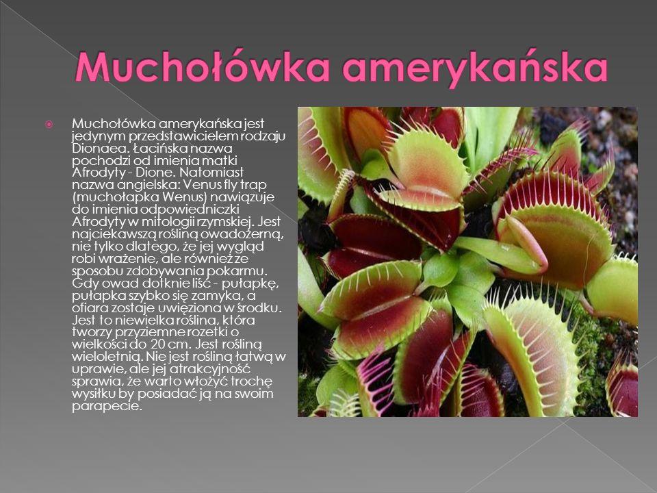 Muchołówka amerykańska jest jedynym przedstawicielem rodzaju Dionaea. Łacińska nazwa pochodzi od imienia matki Afrodyty - Dione. Natomiast nazwa angie