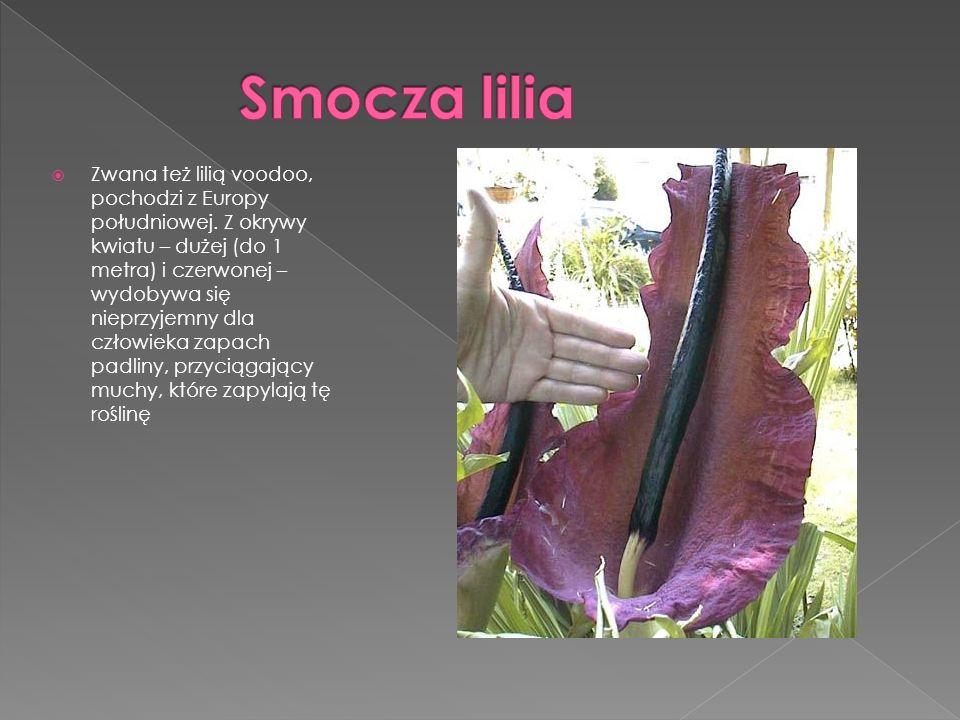 Zwana też lilią voodoo, pochodzi z Europy południowej. Z okrywy kwiatu – dużej (do 1 metra) i czerwonej – wydobywa się nieprzyjemny dla człowieka zapa