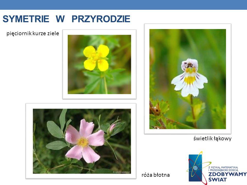 SYMETRIE W PRZYRODZIE pięciornik kurze ziele róża błotna świetlik łąkowy