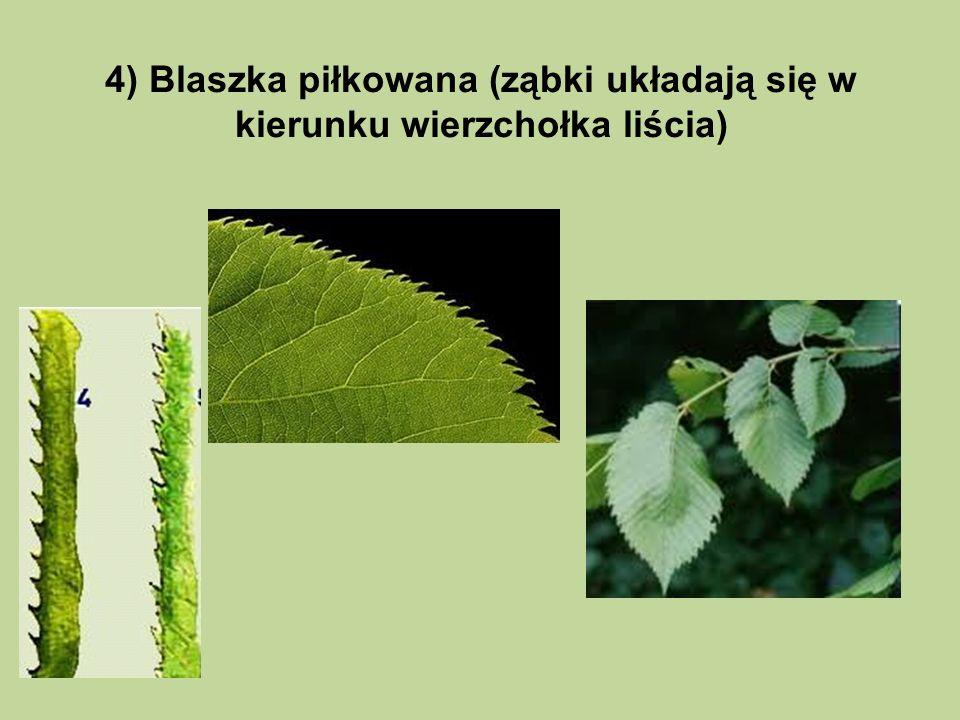4) Blaszka piłkowana (ząbki układają się w kierunku wierzchołka liścia)