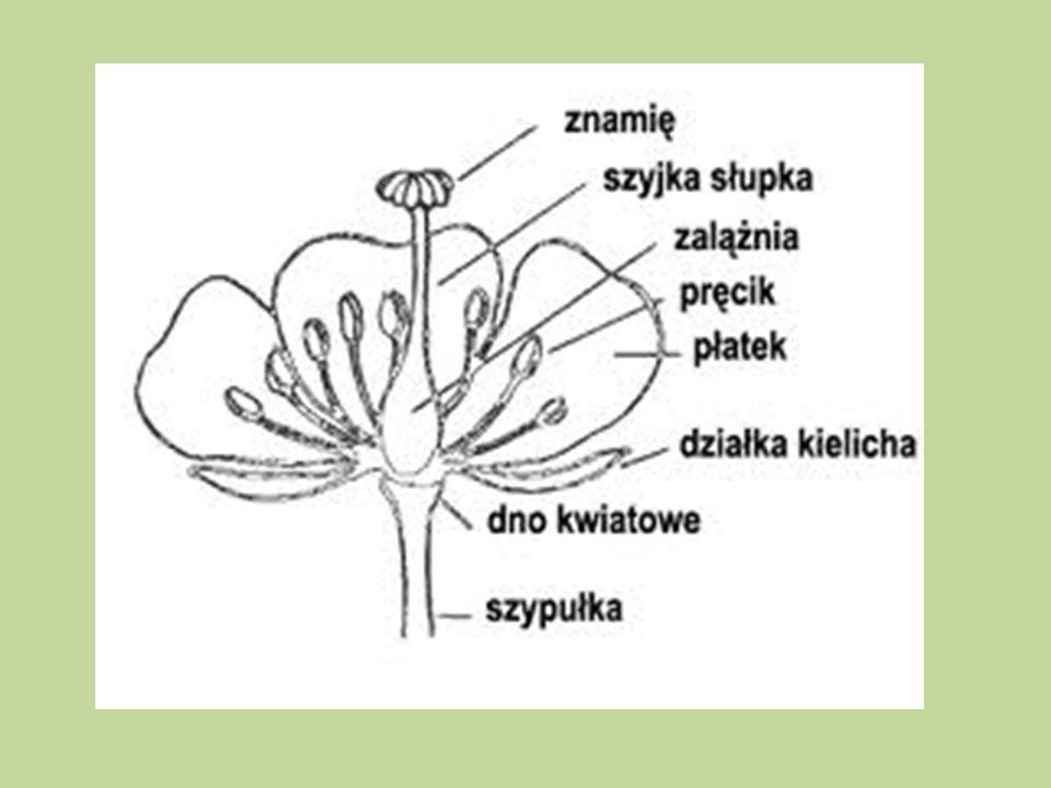 Znamię słupka Szyjka słupka korona zalążnia pręcik zalążek miodnik kielich Dno kwiatowe