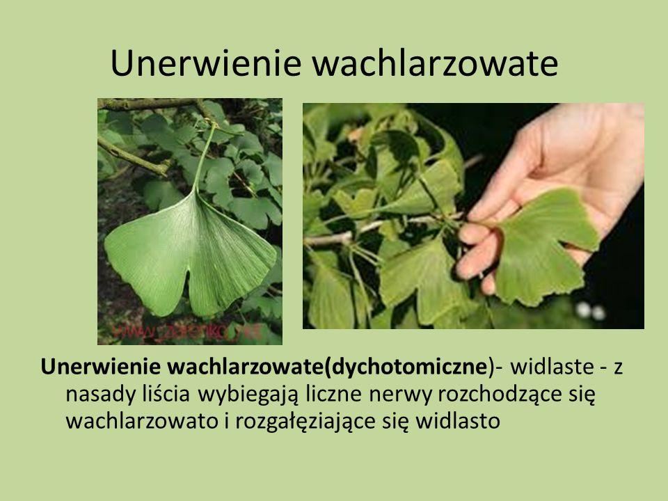 Unerwienie wachlarzowate Unerwienie wachlarzowate(dychotomiczne)- widlaste - z nasady liścia wybiegają liczne nerwy rozchodzące się wachlarzowato i ro