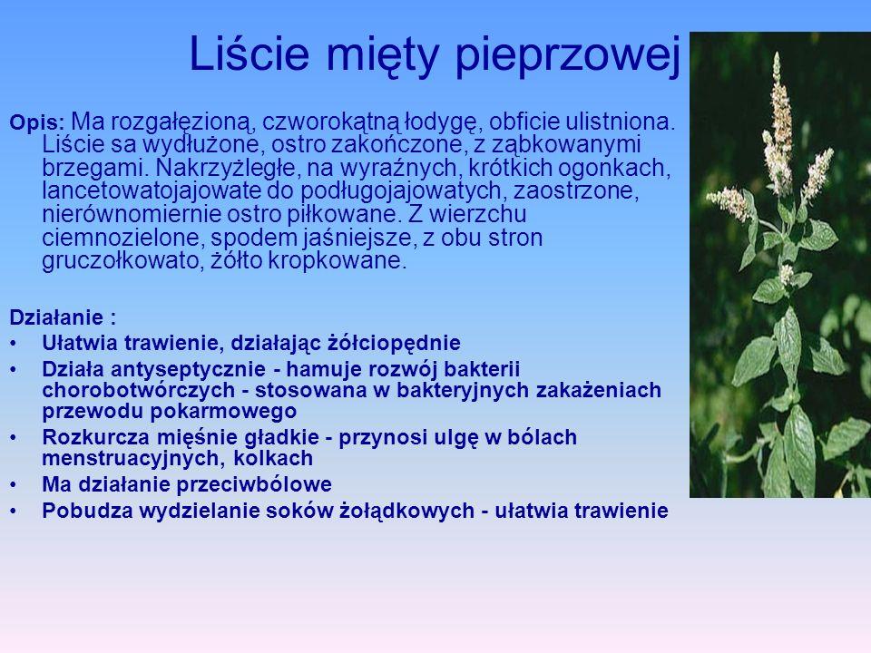 Liście mięty pieprzowej Opis: Ma rozgałęzioną, czworokątną łodygę, obficie ulistniona. Liście sa wydłużone, ostro zakończone, z ząbkowanymi brzegami.