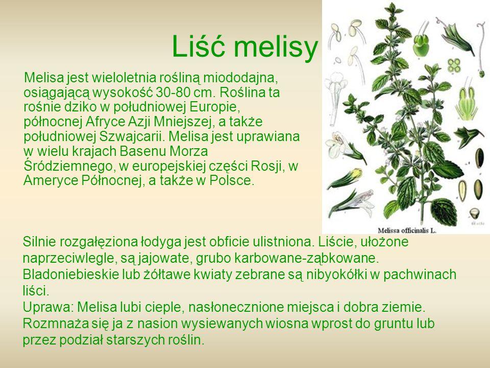 Liść melisy Melisa jest wieloletnia rośliną miododajna, osiągającą wysokość 30-80 cm. Roślina ta rośnie dziko w południowej Europie, północnej Afryce