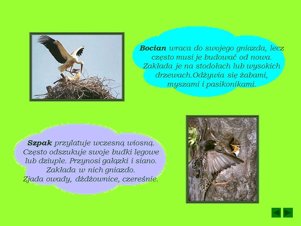 PTAKI WIOSNĄ Ptaki przylatują z ciepłych krajów. Przygotowują miejsca do składania i wysiadywania jaj. Większość zakłada nowe gniazda. Pierwszy wita w