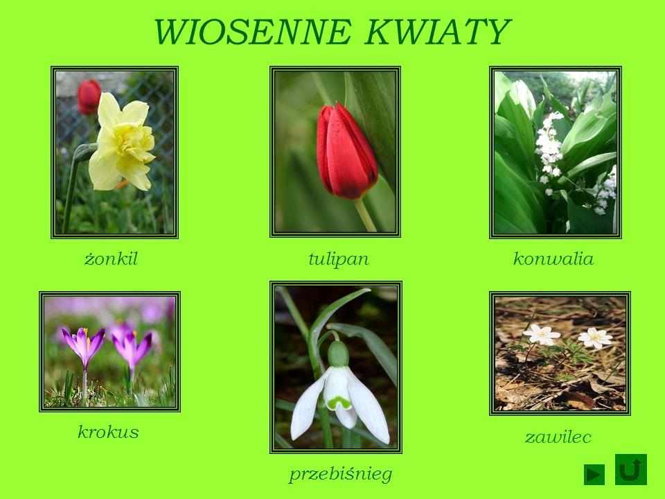 WIOSNĄ: Rozwijają się pierwsze wiosenne kwiatywiosenne kwiaty Zakwitają drzewa owocowedrzewa owocowe Kwitną też krzewykrzewy Ogrodnicy sieją pierwsze