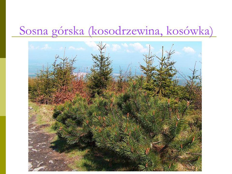 Sosna górska (kosodrzewina, kosówka)