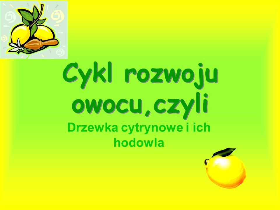 Cykl rozwoju owocu,czyli Drzewka cytrynowe i ich hodowla