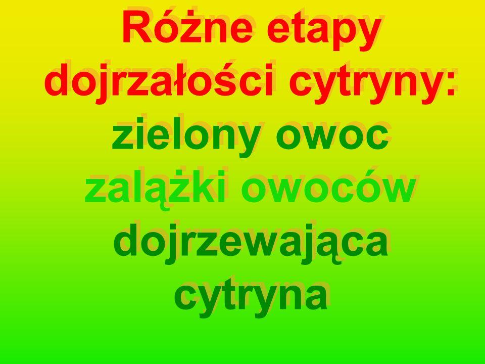 Różne etapy dojrzałości cytryny: zielony owoc zalążki owoców dojrzewająca cytryna