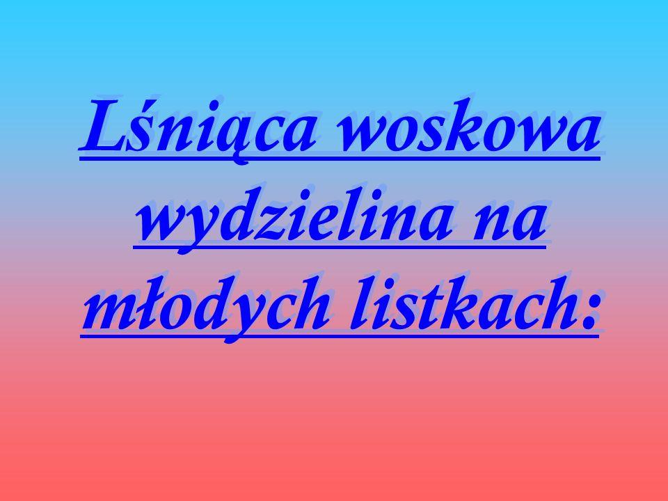 L ś ni ą ca woskowa wydzielina na młodych listkach: