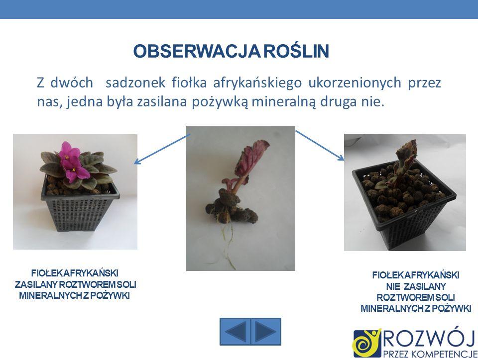 OBSERWACJA ROŚLIN Z dwóch sadzonek fiołka afrykańskiego ukorzenionych przez nas, jedna była zasilana pożywką mineralną druga nie. FIOŁEK AFRYKAŃSKI ZA