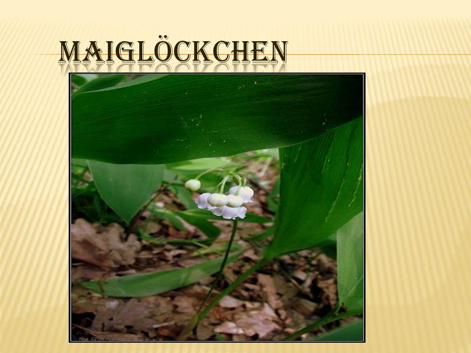 Rodzina-liliowate Kwiaty- dzwonkowate, białe, pachnące Owoce- czerwone jagody Kłącze; cienkie podziemne Kwitnienie - maj Roślina trująca To jest roślina ozdobna Familie- Liliaceae Blume- glocke, weiß,duften Obst- roten Beeren Wurzelstock dünn blühen- Mai giftige Pflanzen Das ist Zierpflanze.