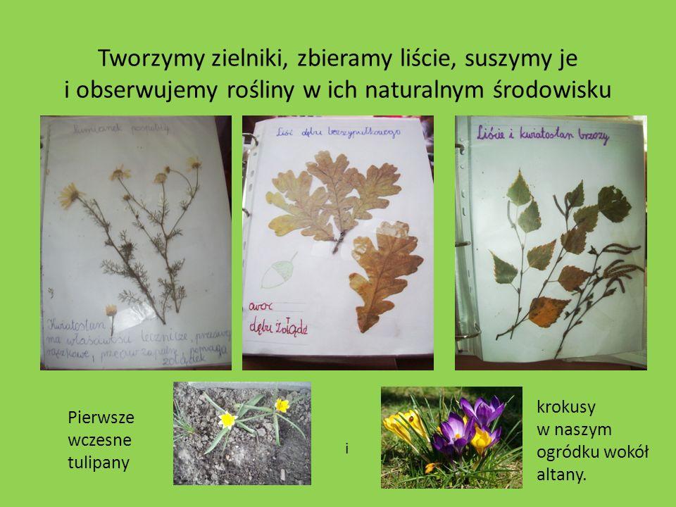 Tworzymy zielniki, zbieramy liście, suszymy je i obserwujemy rośliny w ich naturalnym środowisku Pierwsze wczesne tulipany i krokusy w naszym ogródku