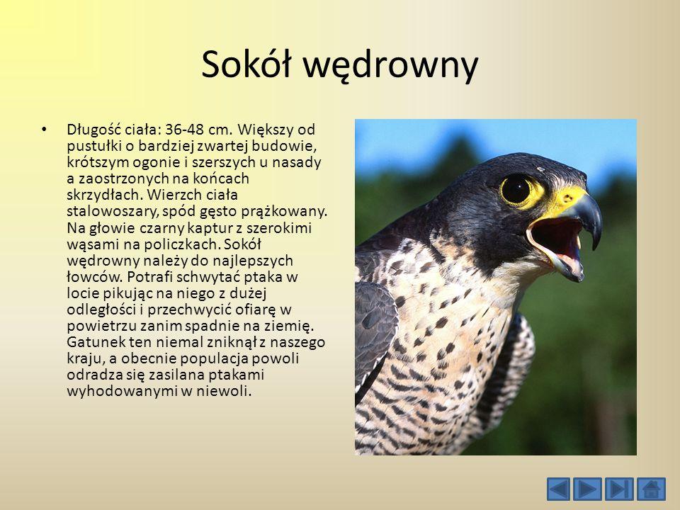 Płaskonos Płaskonos, ptak z rodziny kaczkowatych, rzędu blaszkodziobych. Występuje w prawie całej Europie, środkowej Azji i Ameryce Północnej. Zamiesz