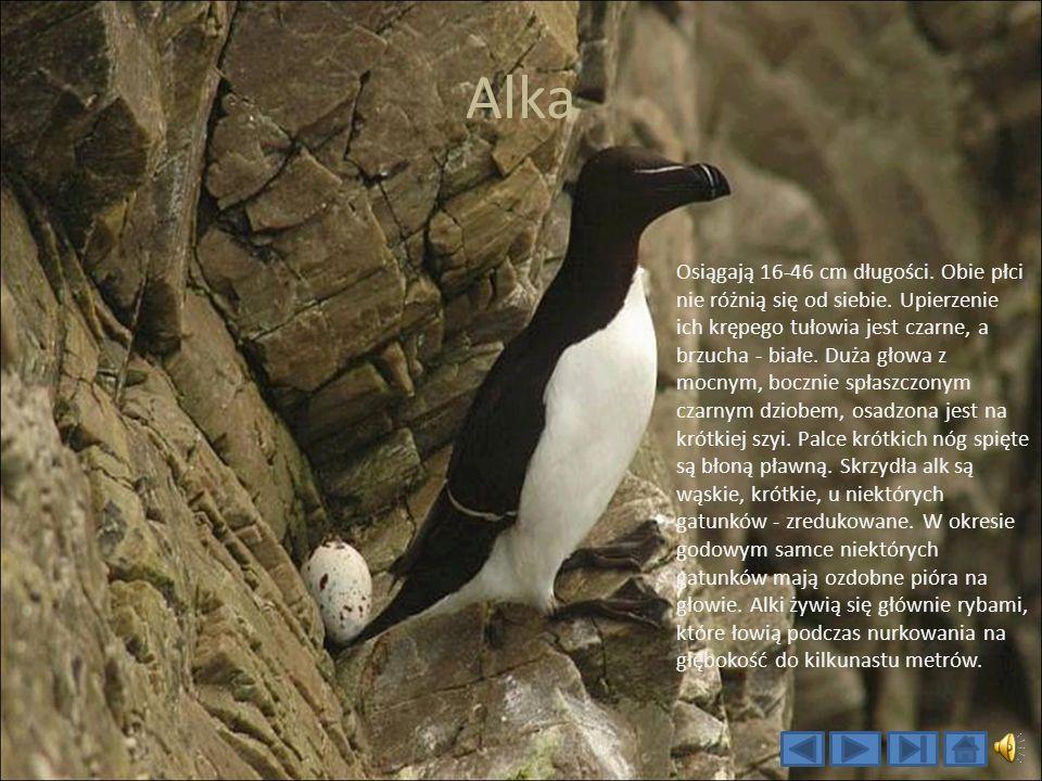 Alka Osiągają 16-46 cm długości.Obie płci nie różnią się od siebie.